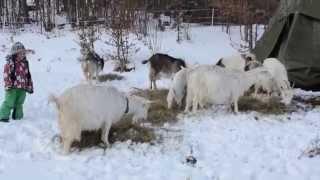 Kozia zabawa na śniegu.Górna Chata :)