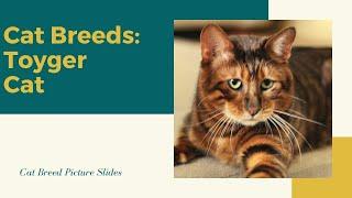 Toyger Slides  Cat Breeds