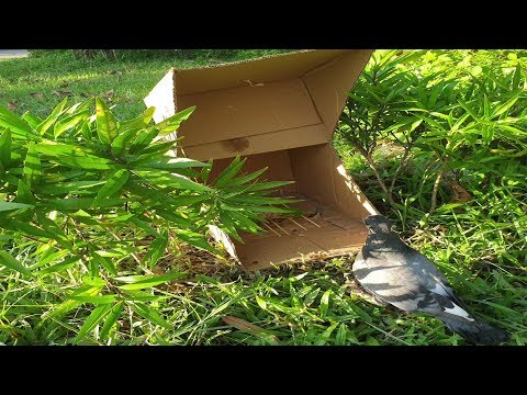 Easy Bird Trap with Paper Box - Bird Trap Simple in Village