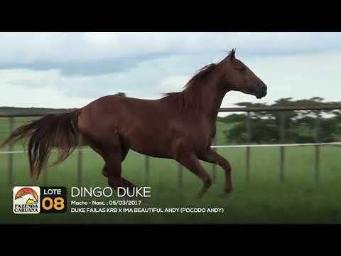 LOTE 08 - DINGO DUKE
