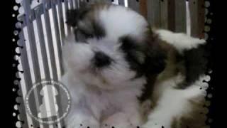 Kc's 1 Month Old Shih Tzu Puppies