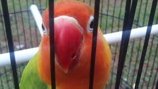 LOVEBIRD NGEKEK PANJANG Masteran Burung Love Bird agar lebih Rajin ngekek panjang