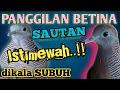 Panggilan Betina Gacor Sautan Istimewa Dikala Subuh Gacor Bocor Pikat Top   Mp3 - Mp4 Download