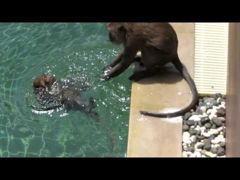 Как плавают обезьяны видео