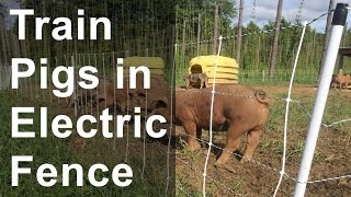 Train Pigs Into Electric Fence