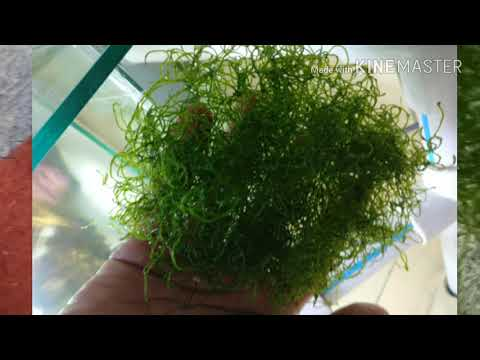 Chaeto algae unbelievable growth..! How i grew it in my sump to lower nitrates.