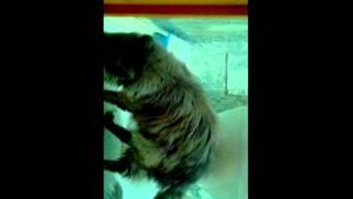 Кот вытирает попу.avi