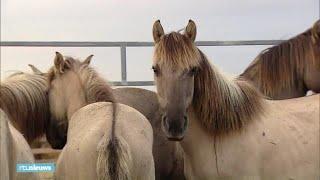 Paarden Oostvaardersplassen op weg naar Wit-Rusland