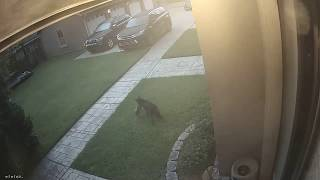 Possible coyote attacks dog in the Irish Channel of New Orleans