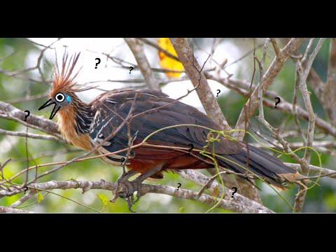 El Enigmático Hoatzin.Biología Animal