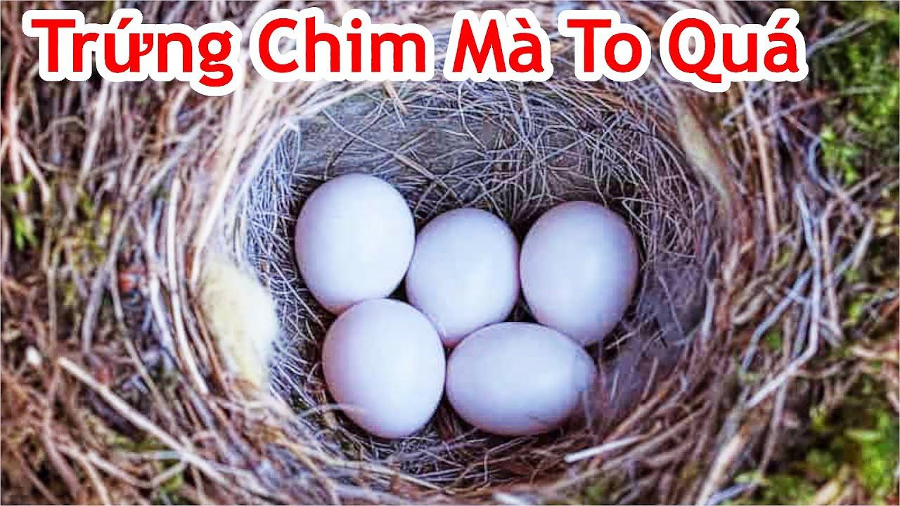 Tổ Chim Kỳ Lạ Đẻ 4 Quả Trứng Rất To Mà Không Biết Chim Gì ? Phát Hiện Tổ Chim Lạ Trong Rừng
