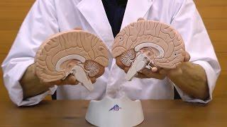 シンプルな脳模型,脳の断面を確認できます│C15