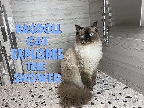 Ragdoll Kitten explores shower | Ragdoll Cat