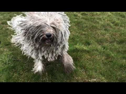 Komondor initiating Play