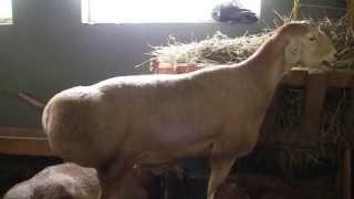 Эдильбаевская порода овец на Всероссийской выставке овец г Элиста