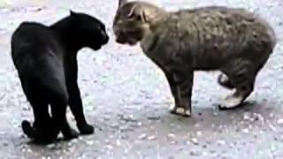 Коты выясняют кто хозяин всех местных кошек, Новые Приколы, Шутки, Смешные ролики Юмор! Прикол! Смех
