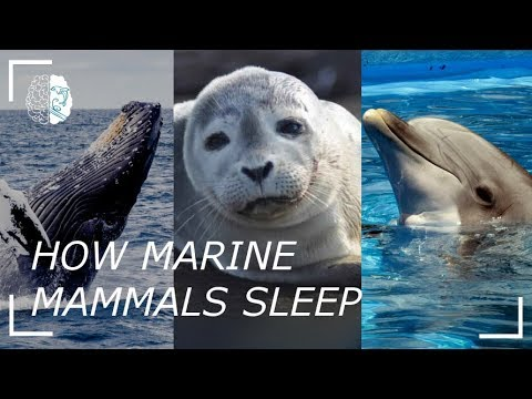 How Marine Mammals Sleep