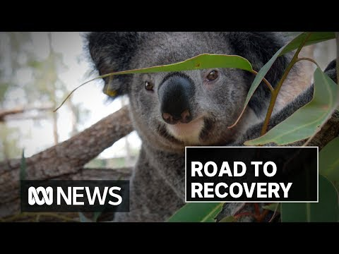 Koalas rescued after NSW north coast fires kills hundreds of others, destroys habitat | ABC News