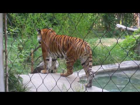 Tiger Roars at Fresno Chaffee Zoo