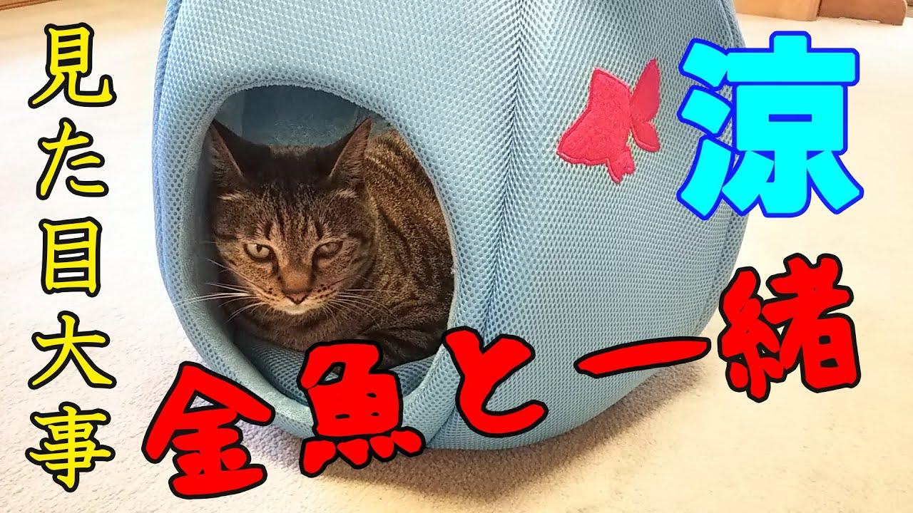【商品レビュー】金魚鉢型クールペットベッド 商品レビュー 見た目涼しげ 【保護猫】