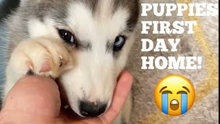 Scared Husky Puppies First Day Home! [UNSEEN CLIPS] [SHE SCREAMS AT MILLIE!]