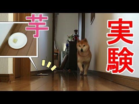 柴犬小春 【実験】いつも走ってくる壁沿いの反対側に、お芋さんがあったらどうする?