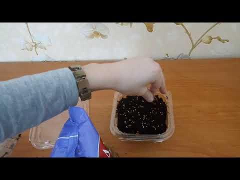 Вопрос: Как посадить просо?