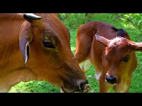 Breathing Life in Coconut Farming: The Cattle Integration Project of San Jose SCFO