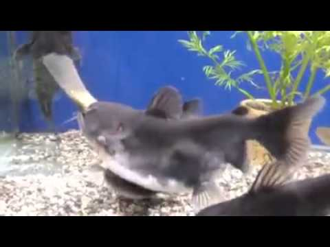 Size Doesnt Matter to This Hungry Catfish