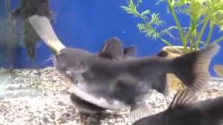 Size Doesn't Matter to This Hungry Catfish