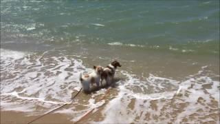 ジャックラッセルテリア ピースとコーイケルホンディエ ルーナの海遊び ...
