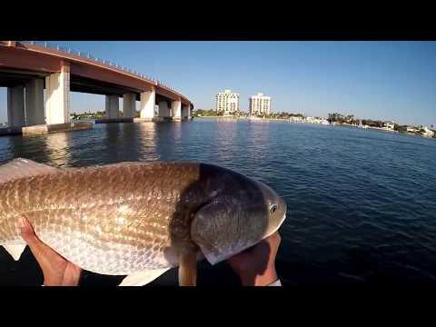 HUGE BULL REDFISH Caught At The Bridge With LIVE BAIT!!! Driftwood Charters - Daytona Beach, Florida