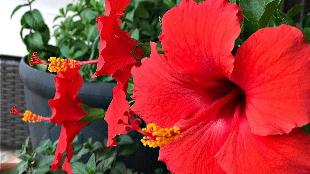 Four tips on hibiscus tree care my personal experience simple four tips on hibiscus izmirmasajfo