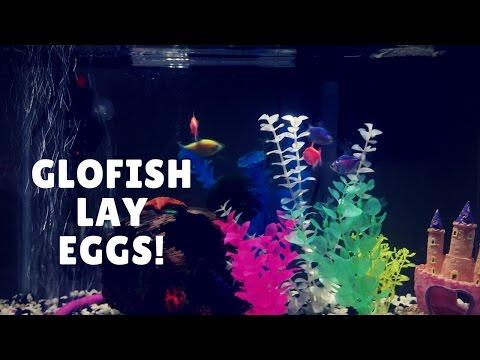 Starfire Red GloFish Lays Eggs