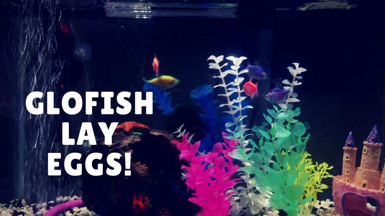 Starfire Red GloFish Lays Eggs - YouTube