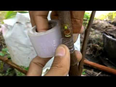 HOW TO GRAFTING FIGS / tempel mata tunas pada tin
