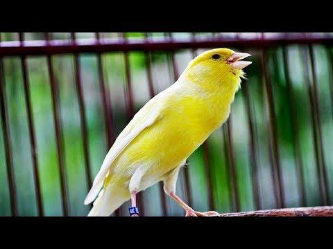 Download Lagu Suara Kicau Burung Kenari untuk Melatih Mastering burung