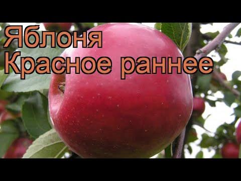 Яблоня гибридный Красное раннее (krasnoe rannee) 🌿 обзор: как сажать, саженцы яблони Красное раннее