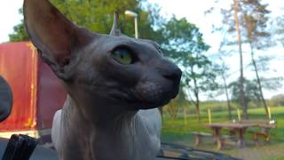 Sphynx cat Rango chattering at birds in the car / DonSphynx /