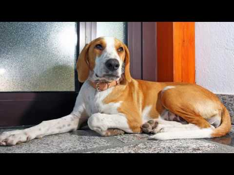 Istrian Shorthaired Hound - medium size dog breed