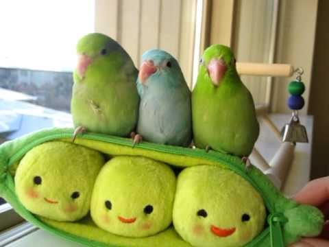Adorable Three Peas In A Pod Parrotlets