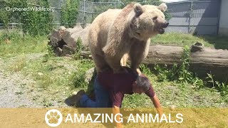 Massive Bear Climbs On Man's Back