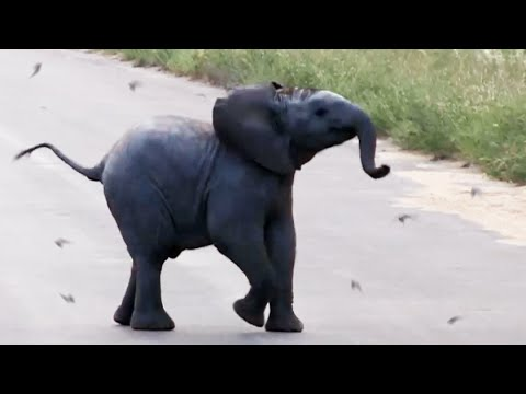Baby Elephant Calf vs Birds - Latest Wildlife Sightings