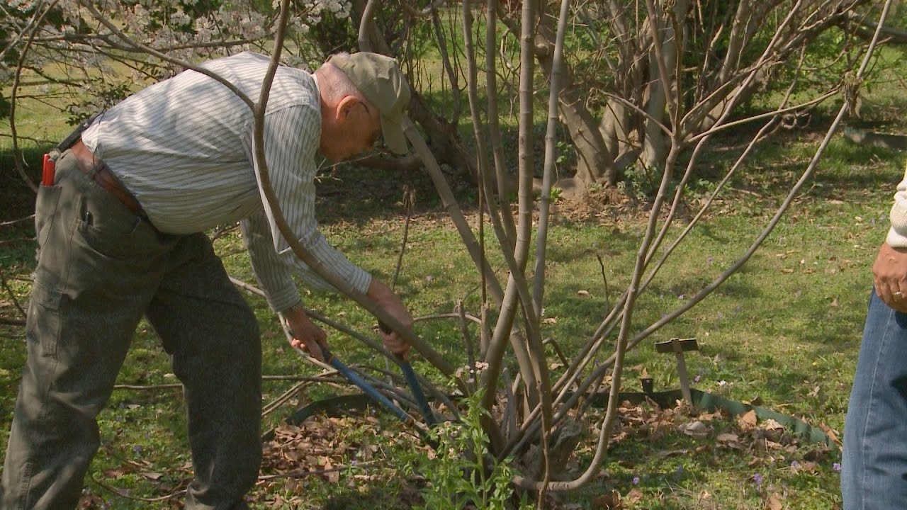 Pruning Fig Trees Family Plot You