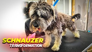 SCHNAUZER GROOMING Transformation   Pet   Dog Grooming   The Dog