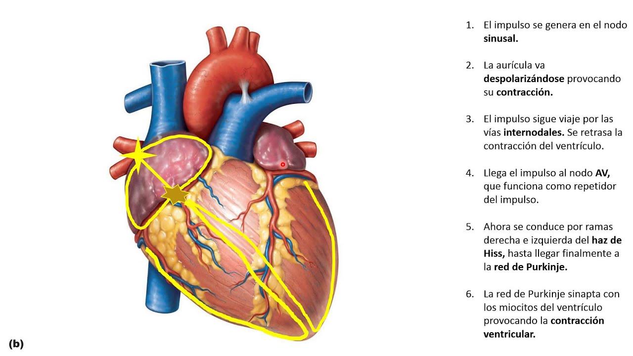 Fisiología del Corazón 1. El Sistema Cardionector. - YouTube