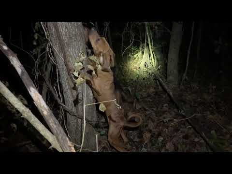 Coon Hunting In West Tennessee