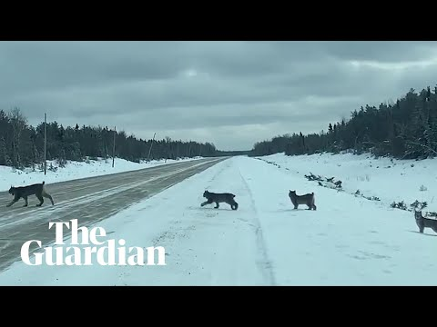 Footage shows rare sighting of lynx family crossing road in Manitoba