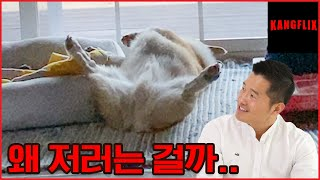 Why Is He Doing That...?|Is There a Reason Why My Dog Sleeps With Its Belly Facing Up?|KANGFLIX
