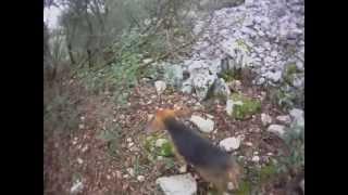 Jeunes Beagle Harrier Au Débourrage - Parc De Bourbouillet